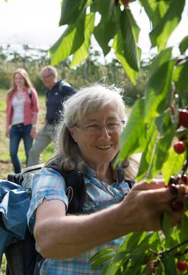 Frau beim Kirschenpflücken
